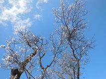 Apfelbaum in der Blüte stockfoto