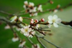 Apfelbaum in der Blüte Lizenzfreies Stockfoto
