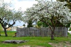 Apfelbaum in der Blüte Stockbild
