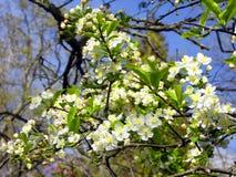 Apfelbaum in der Blüte Stockfotos