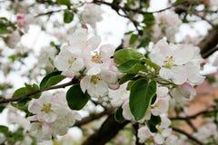 Apfelbaum in der Blüte im Frühjahr Lizenzfreie Stockfotos