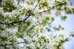 Apfelbaum, der mit weißen Blumen gegen den blauen Himmel blüht lizenzfreie stockbilder