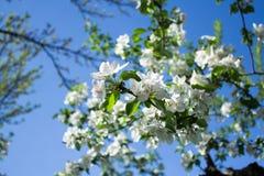 Apfelbaum, der unter blauem Himmel bl?ht Almaty, Kasachstan lizenzfreie stockfotos