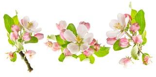 Apfelbaum-Frühlingsblüten getrennt auf Weiß Stockfotos