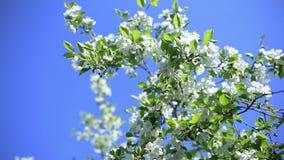 Apfelbaum gegen den blauen Himmel stock video