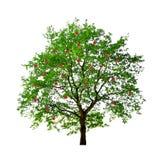 Apfelbaum getrennt Stockfotos