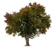 Apfelbaum getrennt auf Weiß Stockfotografie