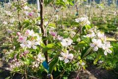 Apfelbaum im Frühjahr Lizenzfreie Stockfotos