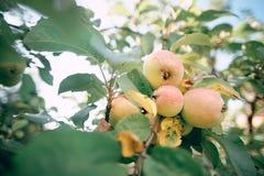 Apfelbaum im Garten mit Frucht auf den Niederlassungen Stockfotografie