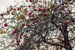 Apfelbaum im Herbst ohne Niederlassungen aber mit roten Früchten Stockfotografie