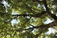 Apfelbaum im Obstgarten in Stockholm Stockfoto