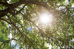 Apfelbaum im Sommer Stockfotos
