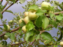 Apfelbaum im Sturm lizenzfreie stockbilder
