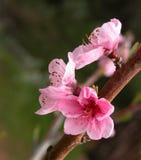 Apfelbaum-Klingeln Blüten Stockfotografie