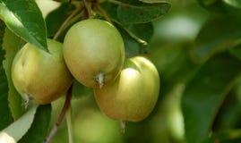 Apfelbaum Michigan- Lizenzfreies Stockbild
