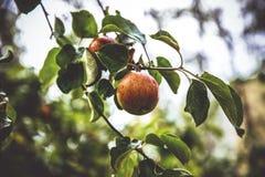 Apfelbaum mit Äpfeln Lizenzfreies Stockfoto