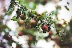 Apfelbaum mit Äpfeln Stockfotos
