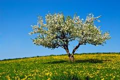 Apfelbaum mit Blüten Stockbild