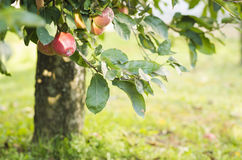 Apfelbaum mit den roten Äpfeln Lizenzfreies Stockbild