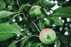 Apfelbaum mit kleinem grünem natürlichem Apfel Lizenzfreies Stockbild