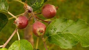 Apfelbaum mit kleinen wachsenden Äpfeln Lizenzfreie Stockfotografie