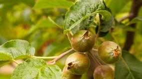 Apfelbaum mit kleinen wachsenden Äpfeln Stockfotos