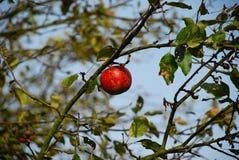 Apfelbaum mit rotem Apfel Stockbilder