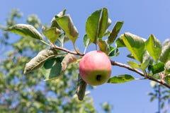 Apfelbaum mit roten Äpfeln Der Apfelbaum im Garten Sommergartenfrüchte Grüne Äpfel auf dem Baum Ernte der Äpfel Rot a Stockfotografie