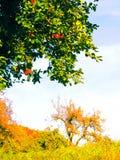 Apfelbaum mit roten Früchten Lizenzfreies Stockbild