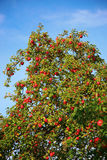 Apfelbaum mit vielen roten Äpfeln Lizenzfreies Stockbild