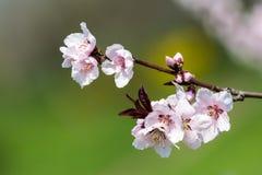 Apfelbaum-Rosa-Blumen Lizenzfreies Stockfoto