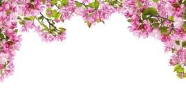 Apfelbaum-Rosablume verzweigt sich halber Rahmen Stockfoto
