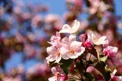 Apfelbaum-Rosablumen Stockfotos