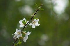 Apfelbaum ` s Blumen Lizenzfreie Stockfotos