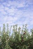Apfelbaum und blauer Himmel-Hintergrund Lizenzfreie Stockfotos