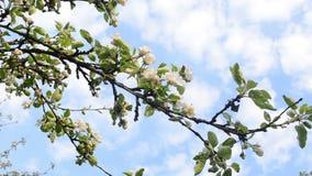 Apfelbaum-Zweigblüte stock footage