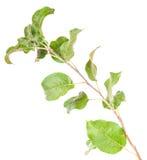 Apfelbaumast mit Blättern Stockfotos