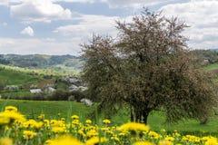 Apfelbaumblühen Stockfoto