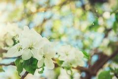 Apfelbaumblühen Stockfotografie
