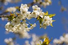 Apfelbaumblühen Lizenzfreie Stockbilder