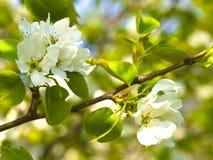 Apfelbaumblüte Lizenzfreie Stockfotos