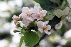 Apfelbaumblüte im Frühjahr Stockfotos
