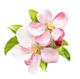 Apfelbaumblüte mit den Grünblättern lokalisiert Lizenzfreie Stockfotos