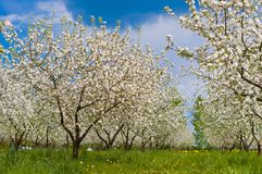 Apfelbaumblüte mit weißen Blumen Lizenzfreie Stockbilder