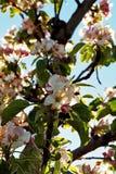 Apfelbaumblüten auf einer Niederlassung lizenzfreie stockfotos