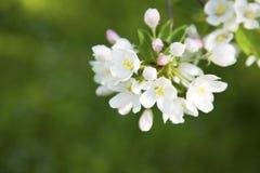 Apfelbaumblüte Lizenzfreies Stockfoto