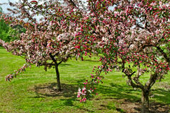 Apfelbaumblüte. Lizenzfreies Stockfoto