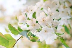 Apfelbaumblume Lizenzfreie Stockfotos