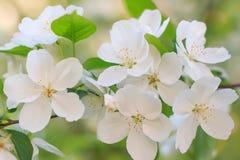Apfelbaumblume Lizenzfreie Stockbilder