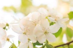 Apfelbaumblume Stockfoto